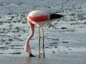 flamingo-798591_1280