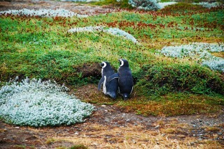 magellan-penguins-1969861_1280