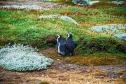 magellan-penguins-1969861_1280