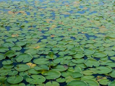 aquatica-plant-101626_1920
