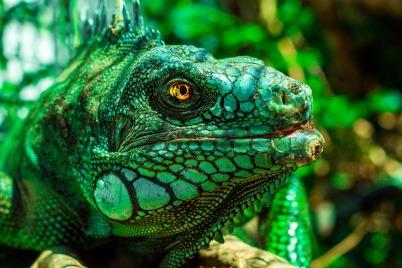 iguana-1902814_1920