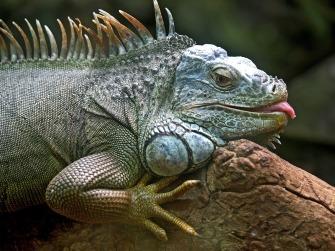 iguana-50198_1280