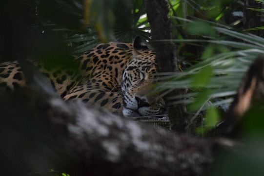 belize jaguar