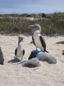 blue-footed-booby-1219953_1280