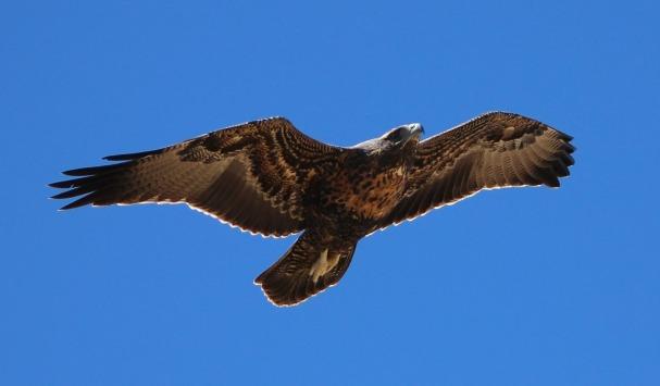 eagle-1112915_1920