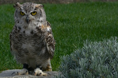 eagle-owl-2816818_1920