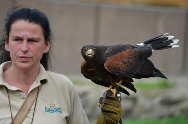 falcon-365469_1920