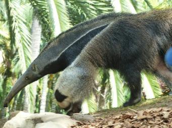 giant-anteater-406712_1920
