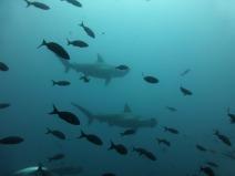 hammerhead-shark-891290_1920