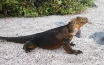iguana-18109_1920
