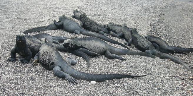 iguana-20894_1920