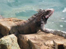 iguana-2393663_1920