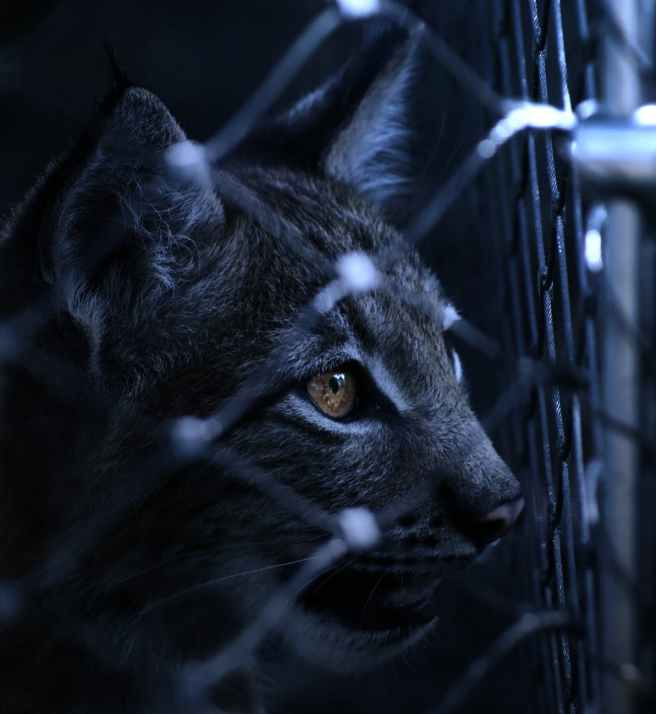 lynx-caught-imprisoned-fence-70454.jpeg