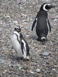 manchot de magellan patagonie