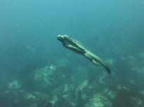 marine-iguana-883488_1920
