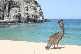 pelican-2439133_1920