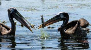 pelicans-336133_1280