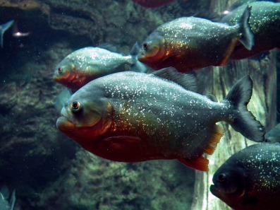 piranha-262575