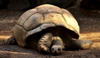tortue géante galapagos