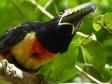 toucan-1743137_1920