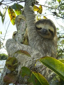 pygmy-sloth-62869_1920