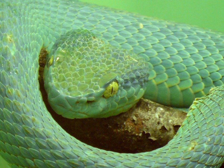 side-striped-palm-viper-590633_1920
