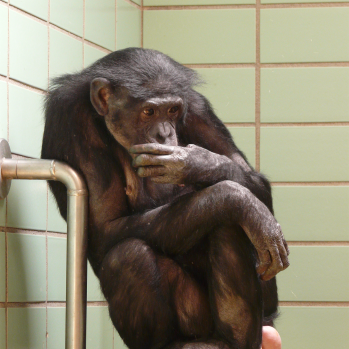 chimpanzee-77077_1920