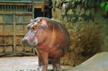 hippopotamus-2766425_1920