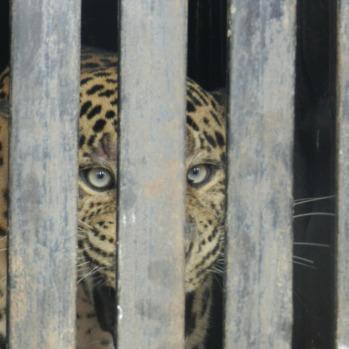 leopard-140338_1920