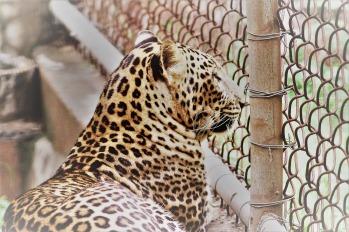 leopard-2766442_1920