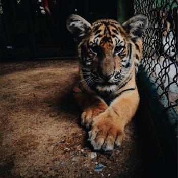 tiger-593173_1920